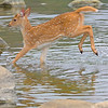 Deer crossing a stream