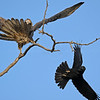 Jungle Crow (Broad Billed Crow) attacking an Oriental Honey Buzzard in Ranthambhore