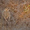 Indian Bushlark or Red-winged Bushlark (Mirafra erythroptera) in dew covered dry grass in Ranthambhore national park