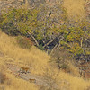 Wild tiger family in his natural dry deciduous habitat in Ranthambore tiger reserve, India