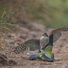 Eurasian sparrowhawk attack