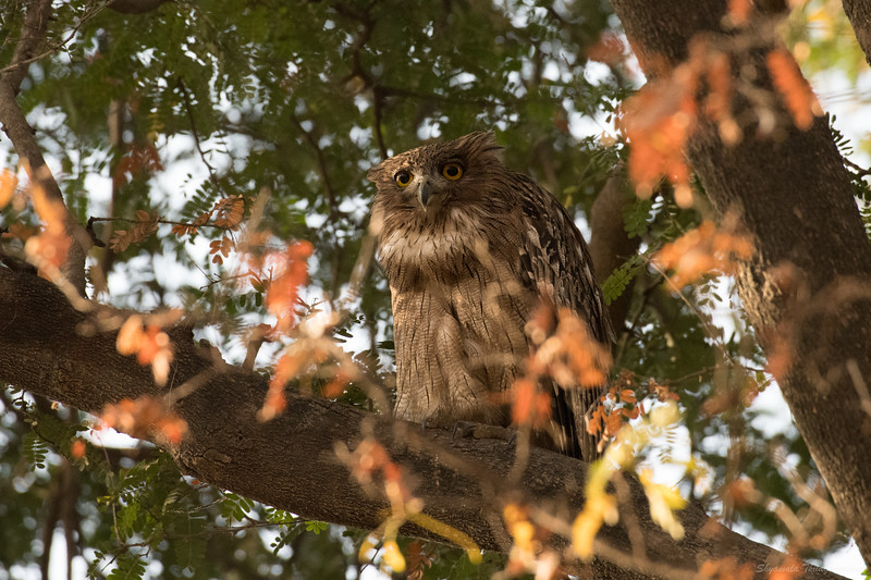 The brown fish owl...apparently they don't always sleep in the day.