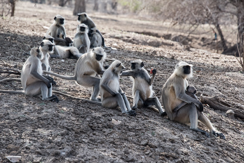 Back to langurs...fight, fight