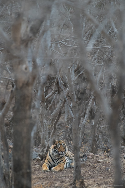 Tiger - woods