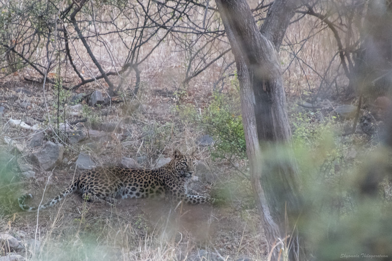 And we also saw the very elusive leopard on that first drive - two of them!