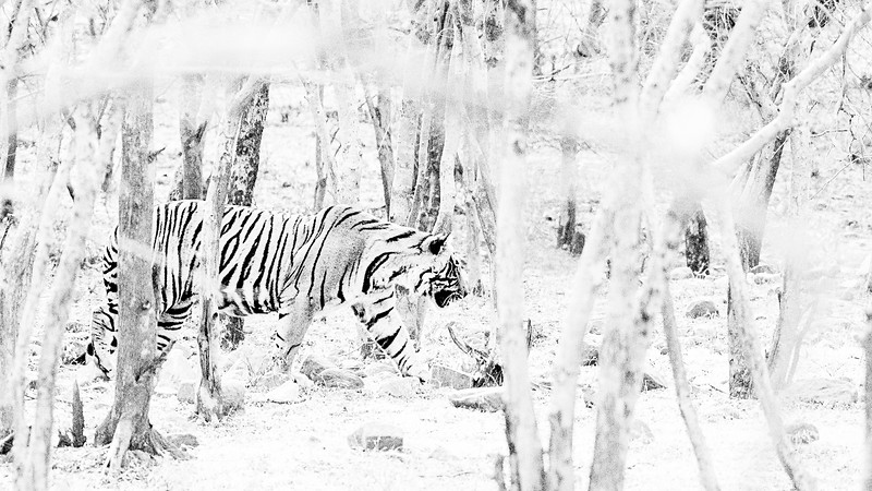 Whatever the foliage, the tigers seemed to just melt away out of sight in seconds.
