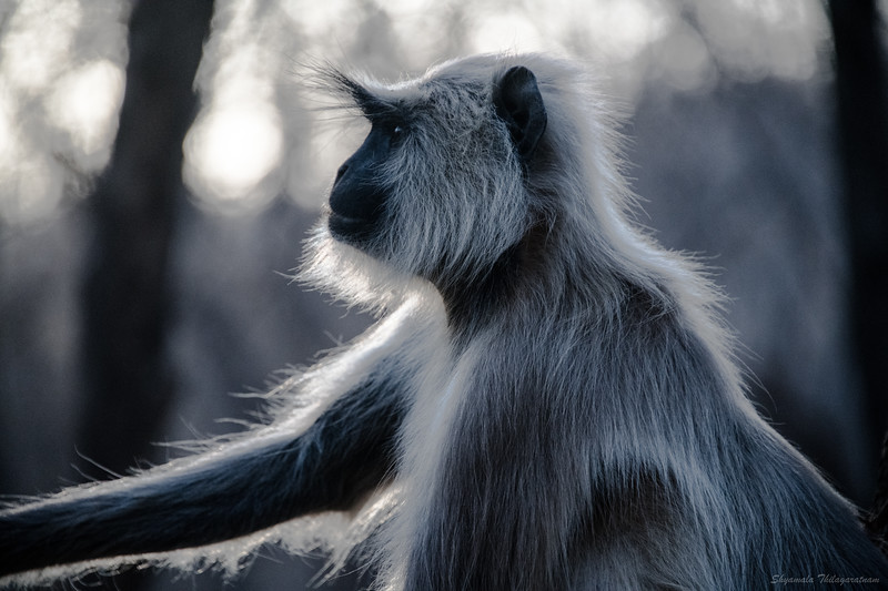 The langurs became a fast favourite of mine.