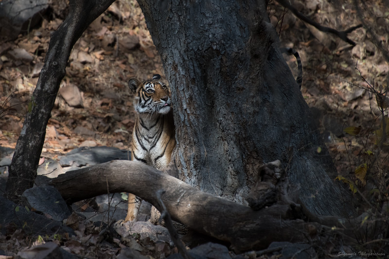 First drive, first tiger (Noor), first photo (or as they say, 'first click')