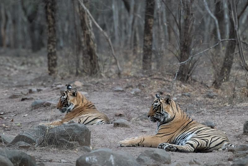 "Jai and Veeru - spotted by Bablu as we raced along at high speed one morning, ""Tigertigertigertiger."""