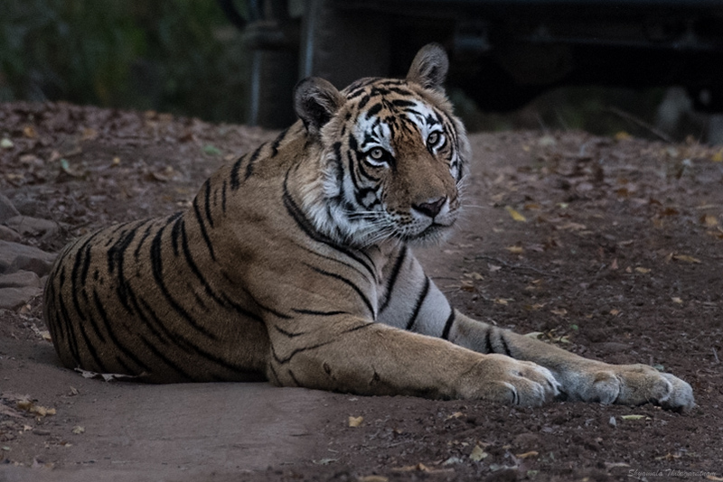 Another day, another tiger - Akash.