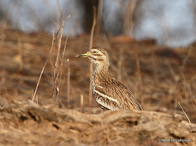 Eurasian Thick Knee