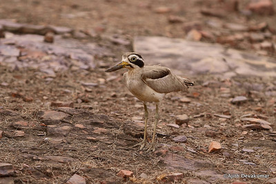 Great Thick Knee - a comical bird