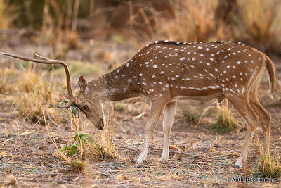 Spotted Deer - sharpening whatever is left!