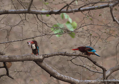 White-throated Kingfisher - prey & courtship behavior