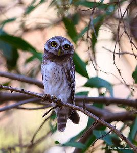Spotted Owlet - look straight ahead . . .