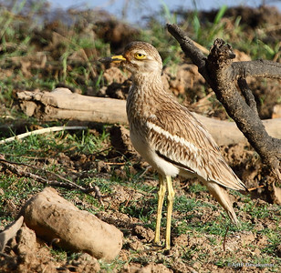 Eurasian Thick Knee - lazy eyes