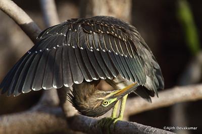 Little Heron - preening