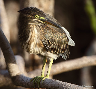 Little Heron - confiding