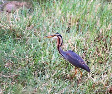 Purple Heron with a pre-supper snack