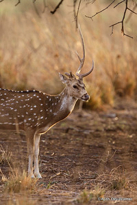 Spotted Deer - an antler missing