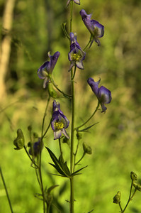 Aconitum columbianum - Columbia Monkshood