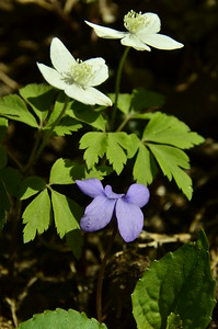 Anemone quinquefolia - Wood Anemone and violet