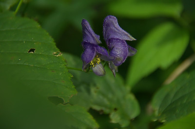 Aconitum uncinatum - Southern Blue Monkshood