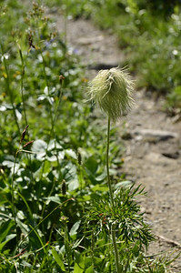 Anemone occidentalis - Western Pasqueflower fruit  But we referred to these as the Whoville plant