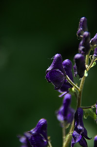 Aconitum columbianum - Western Monkshood