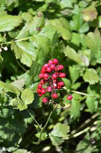 Actaea rubra - Red Baneberry