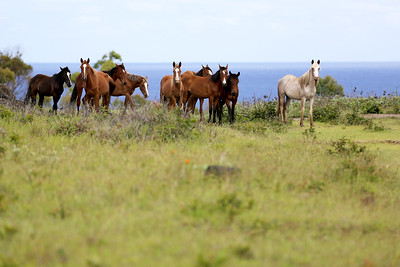 Wild Horses, Rano Raraku Crater, Rapa Nui, Easter Island, Chile