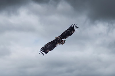 Sea Eagle Over Loch Etive
