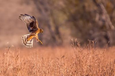 Hunting Harrier 2
