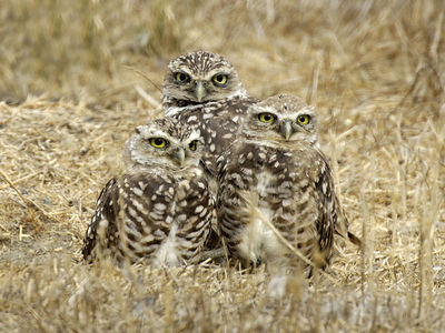 Burrowing Owls, Sunnyvale