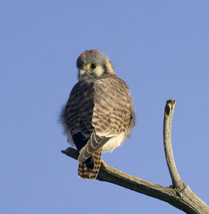 Young Kestrel