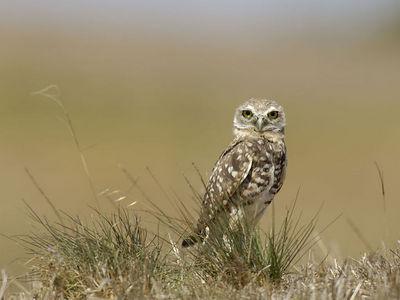 Burrowing Owl - Shoreline Park - Sunnyvale, CA