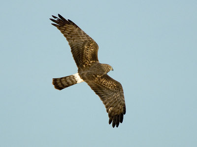 Harrier Hawk, Sacramento NWR