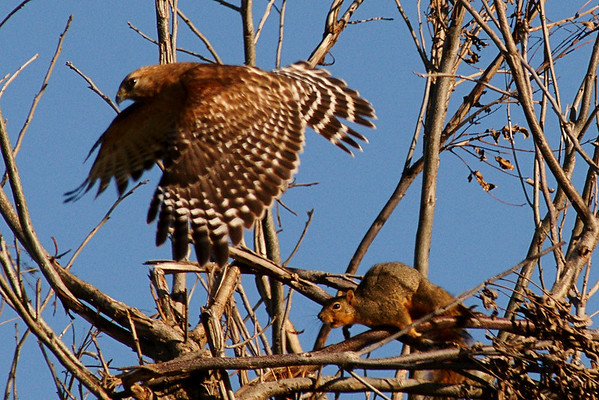 Raptors - Hawks, Kites, Falcons, etc.