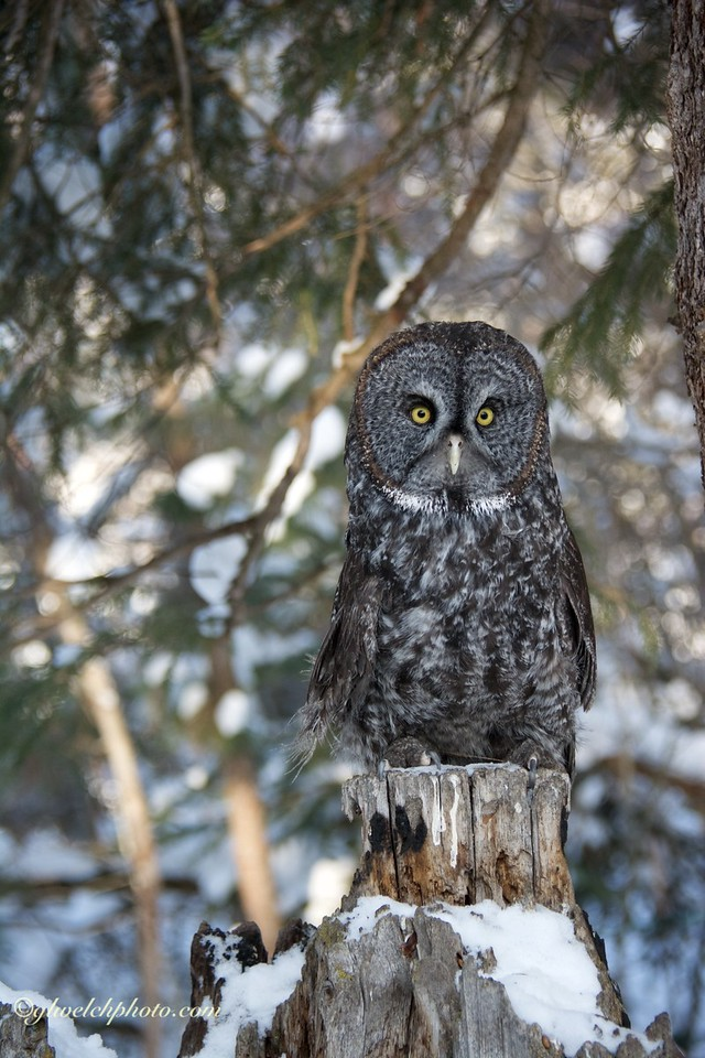 Great Grey Owl