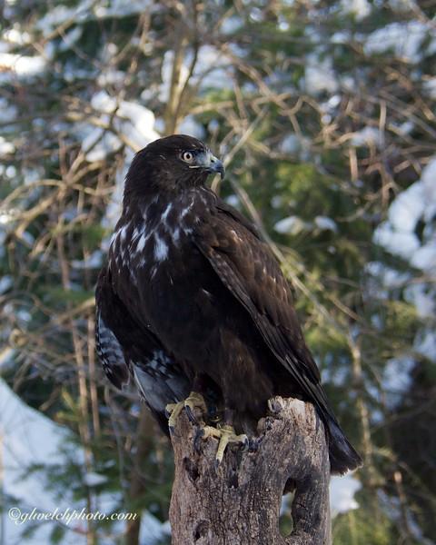 Harlan's Hawk on a Tree Stump