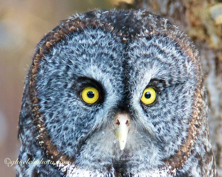 Great Grey Owl- Headshot