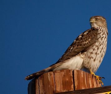 Cooper`s Hawk  Leucadia 2010 12 01-1.CR2
