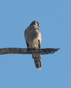 Northern Goshawk Horseshoe Lake Mammoth Lakes 2017 07 26-1.CR2