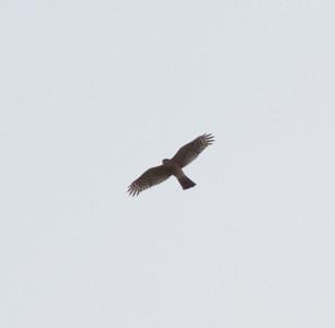 Sharp-shinned Hawk  Bonsall 2014 11 13-1.CR2