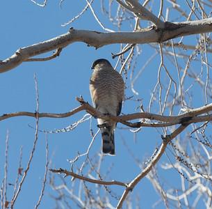Sharp-shinned Hawk Lone Pine 2020 01 27-4.CR2