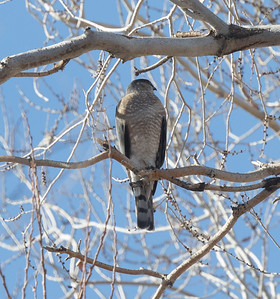 Sharp-shinned Hawk Lone Pine 2020 01 27-1.CR2
