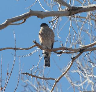 Sharp-shinned Hawk Lone Pine 2020 01 27-3.CR2