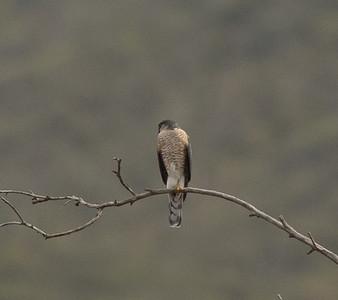 Sharp-shinned Hawk Elfin Forest 2020 12 27-2.CR3