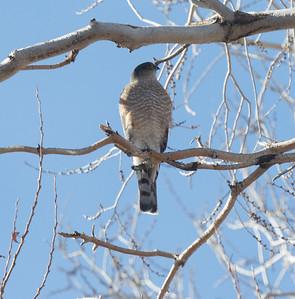 Sharp-shinned Hawk Lone Pine 2020 01 27-2.CR2