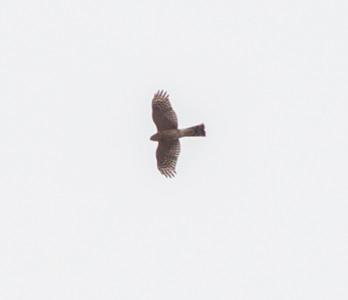 Sharp-shinned Hawk  Bonsall 2014 11 13-3.CR2
